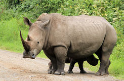 White Rhinos stock images