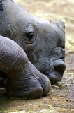 White Rhinos. An African White Rhino calf at rest Stock Photography