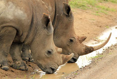 White Rhinos Drinking Stock Image