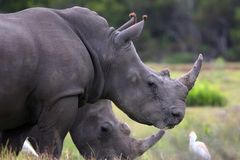 White Rhinos and Egrets Stock Images