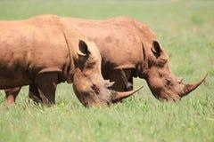 White rhinos feeding stock photography