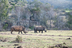 White rhinos in a game reserve Royalty Free Stock Photography