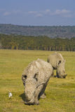 White rhinos grazing in nakuru Stock Photo