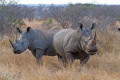 White Rhinos Grazing. Pair of White Rhinos Grazing at Kruger National Park, South Africa stock image