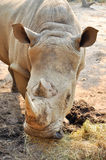 White rhino. S have two horns, the foremost more prominent than the other stock photos