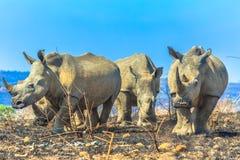 Free White Rhinos In Umfolozi Royalty Free Stock Images - 130607739