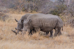 White Rhinos in Kruger Park South Africa Royalty Free Stock Photo