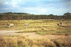White rhinos, Lake Nakuru National Park, Kenya royalty free stock photography
