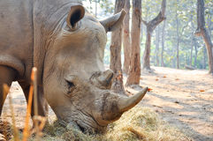 White rhino. S live on Africa's grassy plains, where they sometimes gather in groups of as many as a dozen individuals stock photo