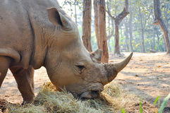 White rhino. S live on Africa's grassy plains, where they sometimes gather in groups of as many as a dozen individuals stock photography