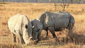 White Rhinos in Nakuru Park. In Kenya during the dry season stock video footage