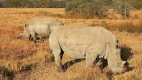 White Rhinos in Nakuru Park. In Kenya during the dry season stock footage