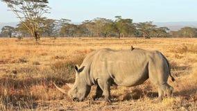 White rhinos in Nakuru Park in Kenya. During the dry season stock footage