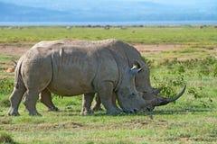 White rhinos Royalty Free Stock Image