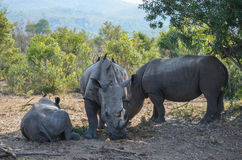 White rhinos rest in the shade Stock Image