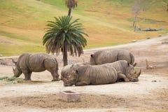 White Rhinos at Safari Park Royalty Free Stock Photography