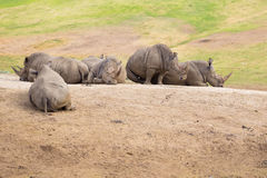 White Rhinos at Safari Park Stock Photo
