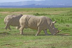 White rhinos in savannah stock images