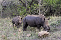 White rhinos in South Africa Royalty Free Stock Images