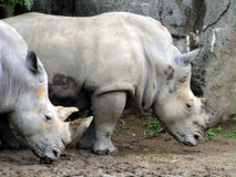 White Rhinos. White or square-lipped rhinoceros after a cooling wallow in the mud royalty free stock images