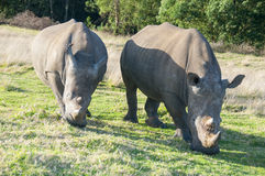 White Rhinos Royalty Free Stock Images