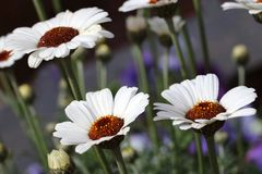 White Rhodanthemum hosmariense Casablanca is a hybrid from the Atlas Daisy Series Royalty Free Stock Photography