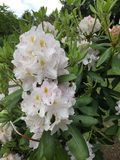 White Rhododenderon. White Rhododendron flowers with yellow speckles and pink stamens on a green Royalty Free Stock Images