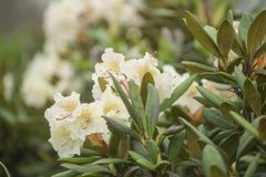 White rhododendron blossom Royalty Free Stock Photo