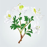 White rhododendron branch vintage vector stock illustration