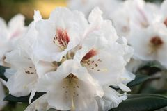 White rhododendron flower in bloom macro. White color rhododendron flower in bloom macro stock photo