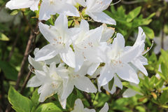 White rhododendron flowers Stock Images