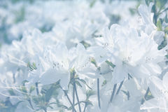White rhododendron flowers Royalty Free Stock Photo