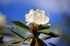 White rhododendron. Flowers by the one of the most beautiful woody plants of the heath family - rhododendrons Stock Images