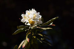 White rhododendron. Flowers by the one of the most beautiful woody plants of the heath family - rhododendrons Stock Photography