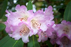 White rhododendron flowers with a purple fringe. Wonderful delicate rhododendron flowers on a dappled bokeh background at Mount Tomah Botanic Garden in the Blue Royalty Free Stock Photo
