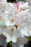 White rhododendron flowers in spring Stock Photo