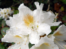 White rhododendron Royalty Free Stock Image