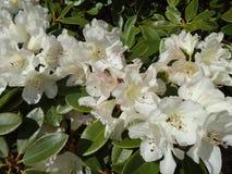 White Rhododendron Royalty Free Stock Photo