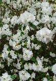 White rhododendron in the garden, early spring royalty free stock photo