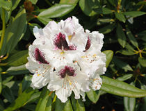 White rhododendron Royalty Free Stock Photography