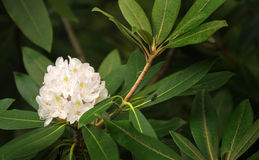 White Rhododendron - Rhododendron maximum Royalty Free Stock Images