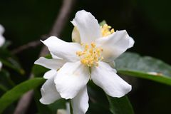 White Rhododendron Star Yellow Anthers. White star pattern Rhododendron flower with yellow anthers, blurry background Royalty Free Stock Images