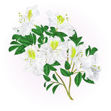 White rhododendron twig with flowers and leaves mountain shrub vintage vector editable illustration. Hand draw stock illustration