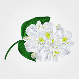 White rhododendron twig vector Royalty Free Stock Images