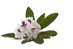 White Rhododendron - Washington State Flower Stock Image