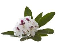 White Rhododendron - Washington State Flower stock image