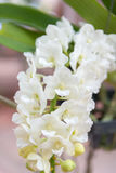White Rhynchostylis gigantea Orchid. Beautiful Rhynchostylis gigantea in Thailand,Close up of beautiful orchid.,Rhynchostylis gigantea (Lindl.) Ridl Royalty Free Stock Images