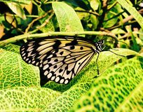 A white rice paper butterfly landing on a leaf stock images