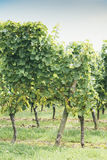 White Riesling Grapes Royalty Free Stock Image