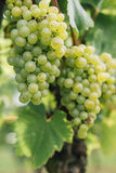 White Riesling Grapes Royalty Free Stock Photography